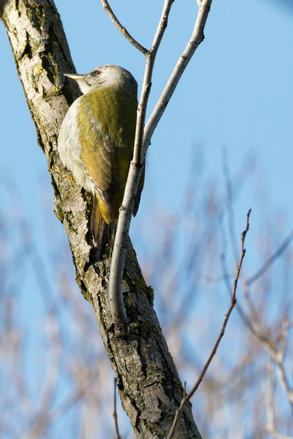 Un picchio verde sta cercando foraggio Fondo naturale della foresta fotografia stock