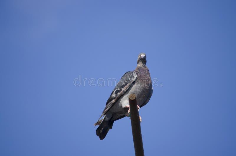 Un piccione della posta di sport di un colore grigio fotografia stock