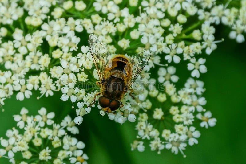 Un'piccola ape marrone si siede su un fiore bianco selvaggio immagine stock libera da diritti