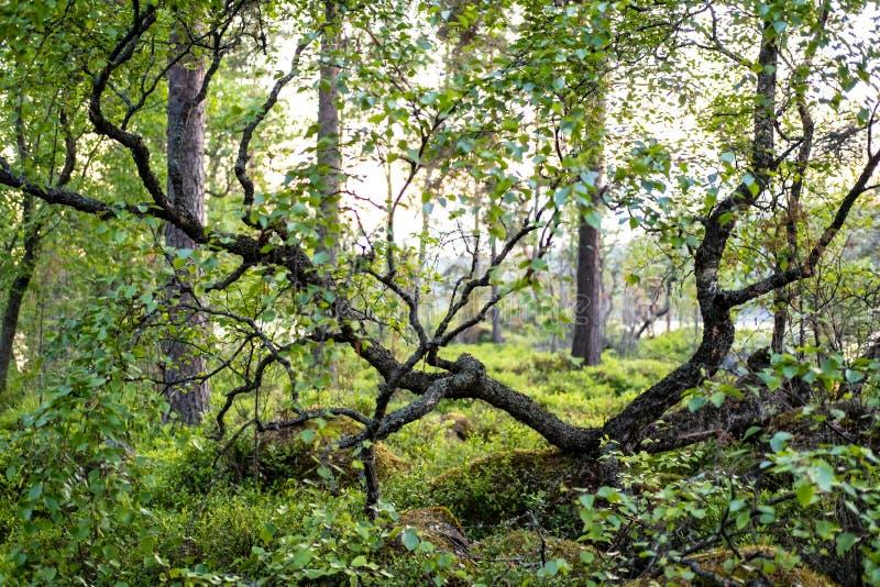 Un piccolo albero curvato si sviluppa delle sulle pietre coperte di muschio in un'abetaia su una sera al tramonto fotografia stock