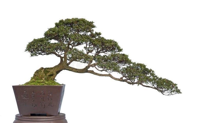 Bonsai su bianco immagini stock