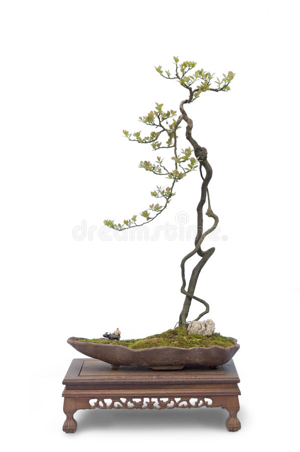 Bonsai su bianco fotografia stock libera da diritti