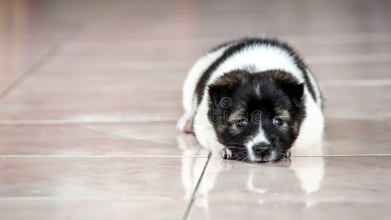 Un piccolo cane è così triste dell'interno fotografia stock