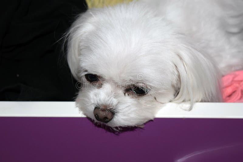 Un piccolo cane bianco annoiato in un cassetto, cucciolo maltese del tazza da the fotografia stock