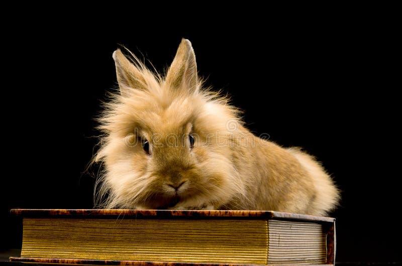 Un piccolo coniglio marrone lanuginoso che si siede su un libro fotografie stock libere da diritti