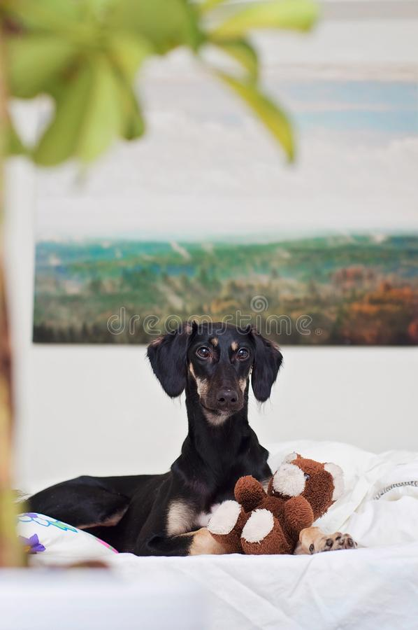 Un piccolo cucciolo nero di saluki sta giocando con l'orsacchiotto a letto, in Finlandia immagine stock