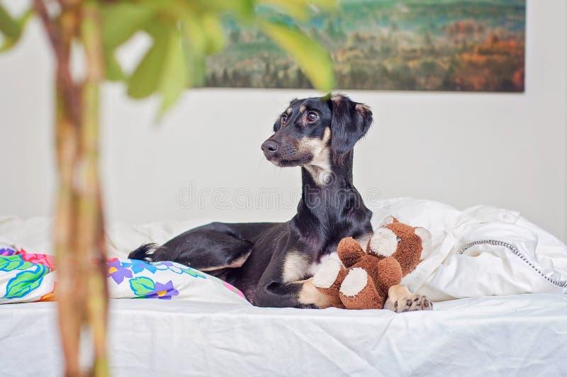 Un piccolo cucciolo nero di saluki sta giocando con l'orsacchiotto a letto, in Finlandia immagini stock libere da diritti