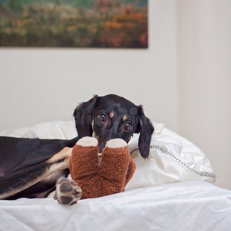 Un piccolo cucciolo nero di saluki sta giocando con l'orsacchiotto a letto, in Finlandia fotografia stock