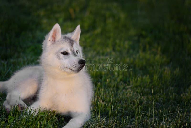 Un piccolo cucciolo sveglio del husky siberiano fotografia stock libera da diritti