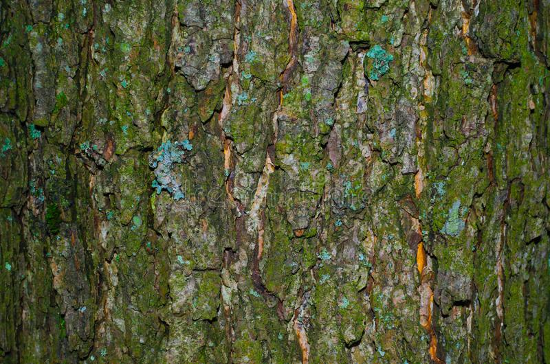 Un piccolo del lichene su una corteccia muscosa di una struttura dell'albero fotografie stock