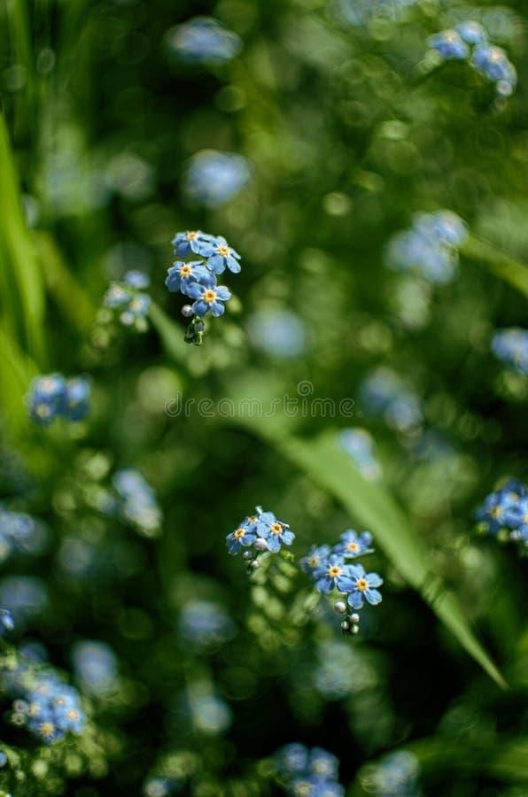 Un piccolo dimenticare-me-non-così-fiore blu si sviluppa fotografie stock