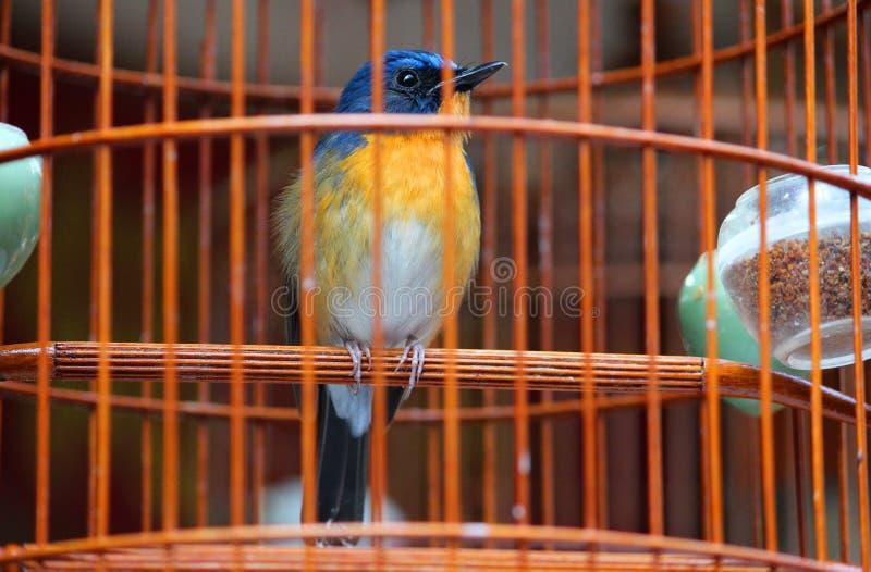 Un piccolo ed uccello sveglio di canzone nella gabbia immagini stock libere da diritti