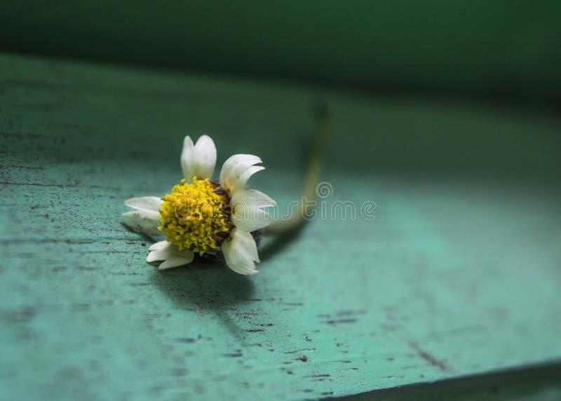Un piccolo fiore bianco che si trova sul legno con pittura verde fotografie stock