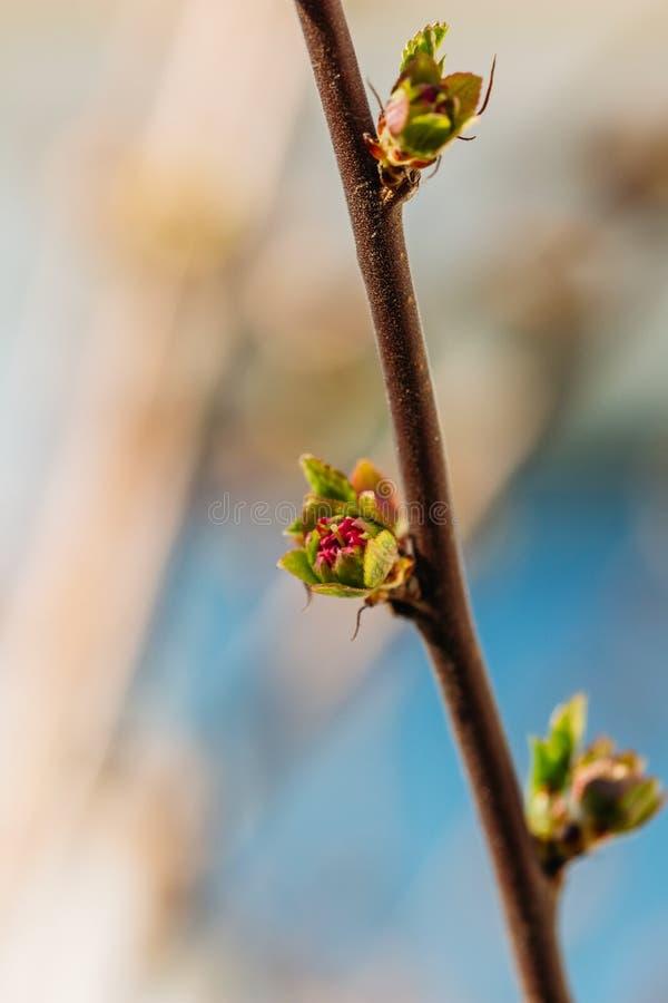 Un piccolo fiore della mandorla su un ramo fotografie stock libere da diritti