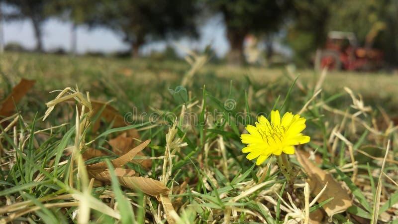 Un piccolo fiore giallo dell'erba fotografia stock