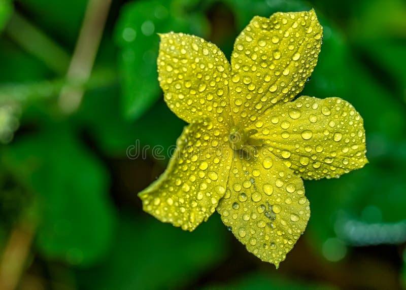 Un piccolo fiore giallo di zucca angolata / luffa acuntangulla con gocce d'acqua sui petali da vicino immagini stock
