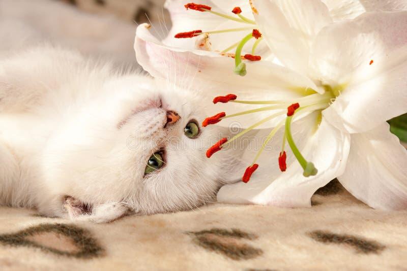 Un piccolo gatto britannico bianco con gli occhi verdi si trova sottosopra sullo strato e fiuta un fiore del giglio fotografia stock