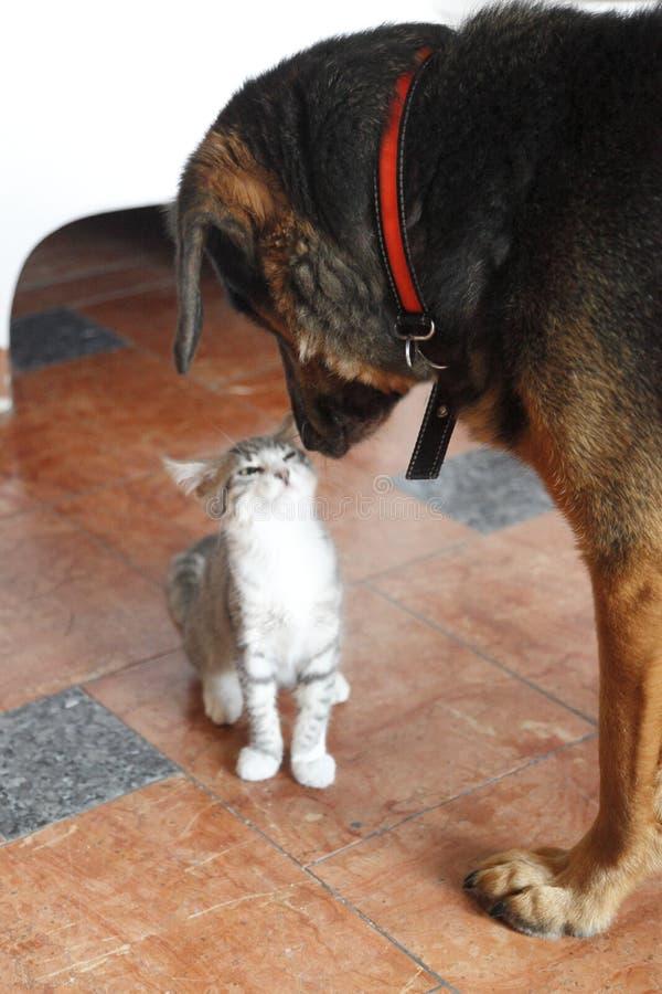 Un piccolo gatto e un grande cane immagine stock libera da diritti