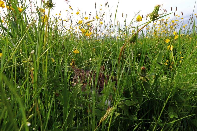 Un piccolo gatto sta cercando i topi nell'alta erba nel campo immagine stock libera da diritti
