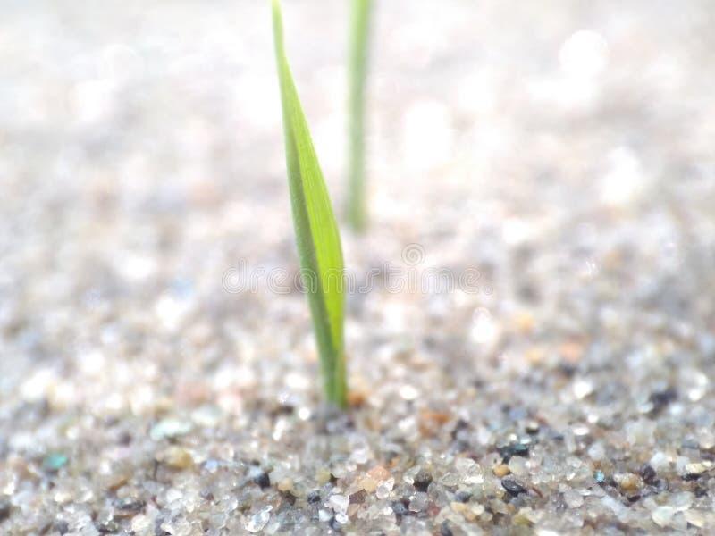 Un piccolo germoglio che prova a nato da una massa della sabbia fotografia stock libera da diritti