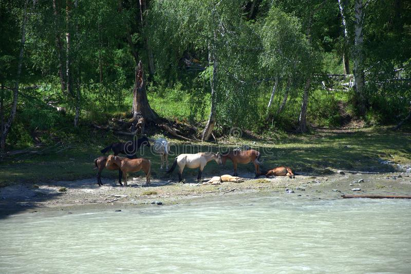 Un piccolo gregge dei cavalli che riposano nella tonalità degli alberi sulle banche di un fiume della montagna Altai, Siberia, Ru fotografie stock libere da diritti