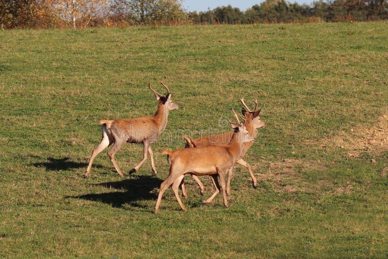 Un piccolo gregge dei cervi dell'azienda agricola funziona lungo un prato verde con erba fertile Cercando per il gioco della fore fotografie stock