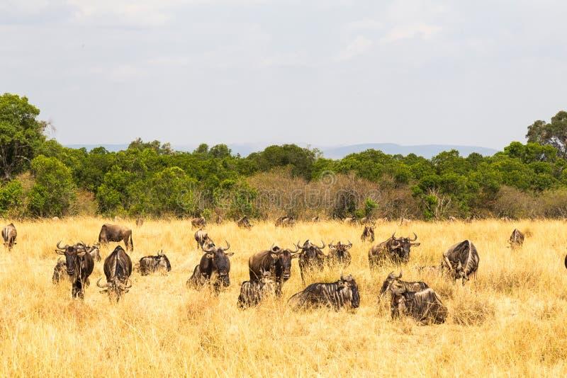 Un piccolo gregge delle antilopi selvagge nella savana Masai Mara, Kenia immagini stock