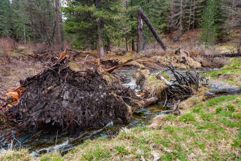 Un piccolo ma fiume tempestoso piccolo Yaloman della montagna ha estratto un albero con le radici in Altai, Russia fotografia stock libera da diritti