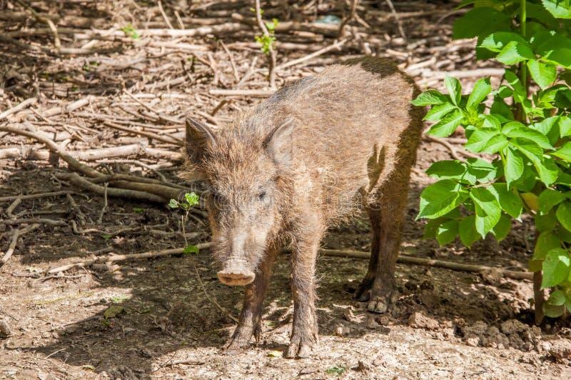 Un piccolo maiale selvaggio nella foresta sporca fotografie stock libere da diritti