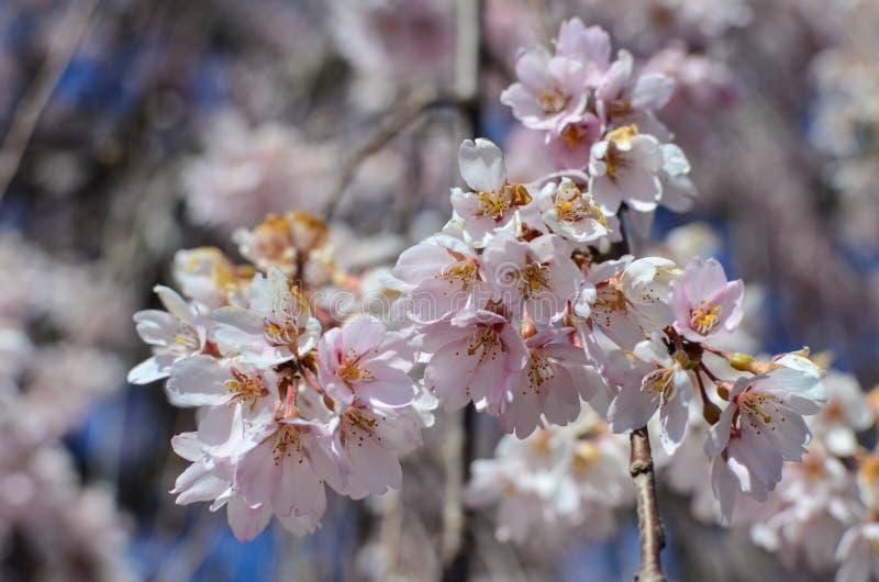 Un piccolo mazzo di fiori del fiore di ciliegia fiorisce su un albero del fiore di ciliegia Fuoco selettivo su una piccola quanti immagine stock