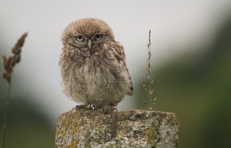 Un piccolo noctua di Owl Athene del bambino sveglio si è appollaiato su una posta nella sera immagine stock