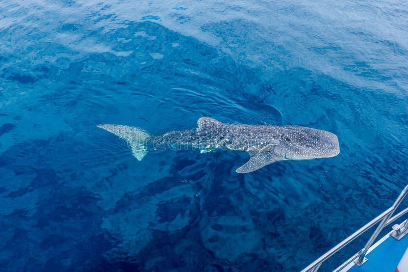 un piccolo nuoto accanto ad una barca, colpo da una barca, Australia occidentale dello squalo balena del bambino della scogliera  immagine stock