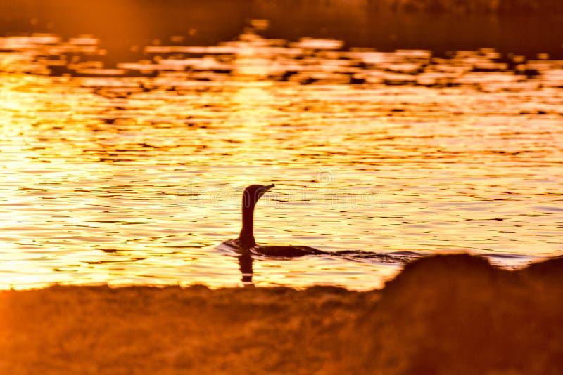Un piccolo nuoto del cormorano sul tramonto fotografia stock