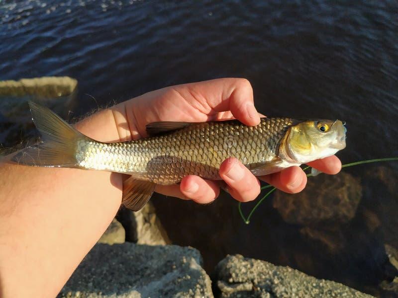 Un piccolo pesce del cavedano pescato da un pescatore immagine stock