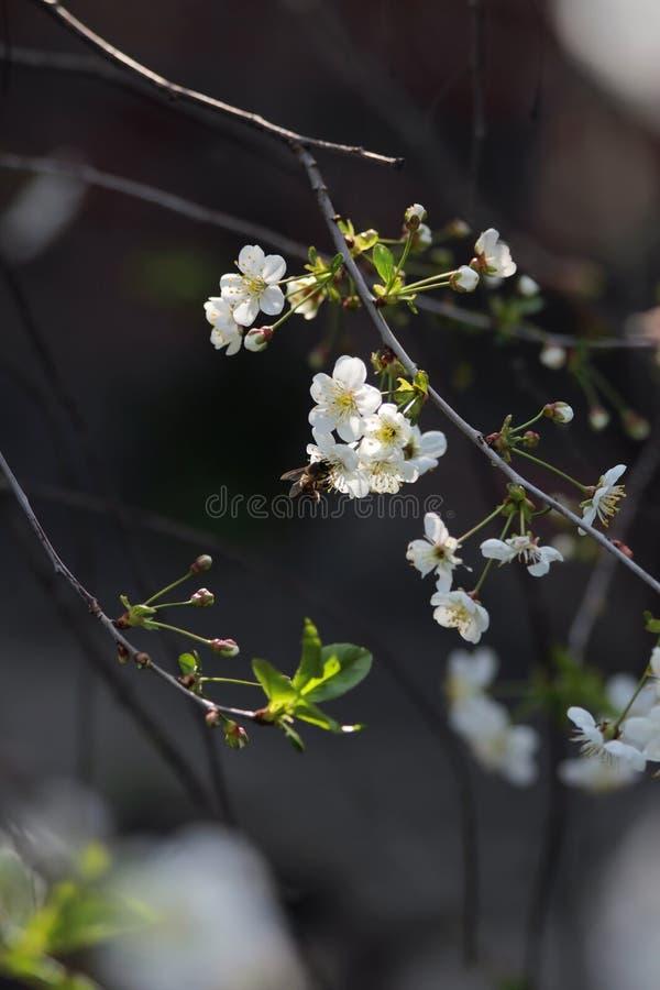 Un piccolo ramo delle ciliege luminose Un'ape si siede sulle piccole luci bianche immagini stock libere da diritti