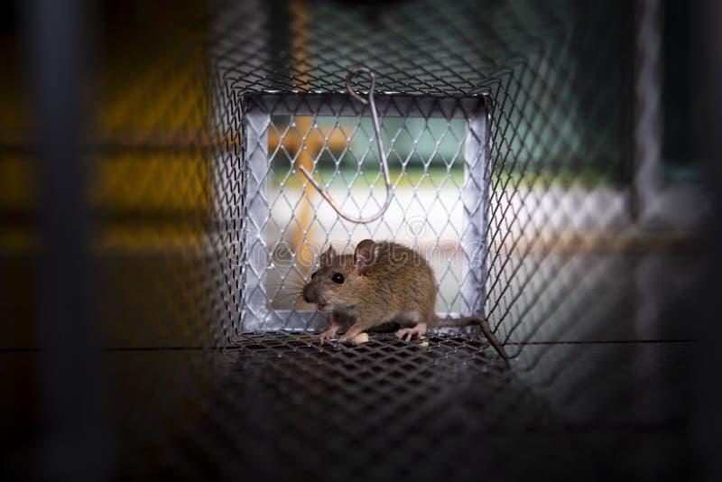 Un piccolo ratto traped in trappola per topi fotografia stock