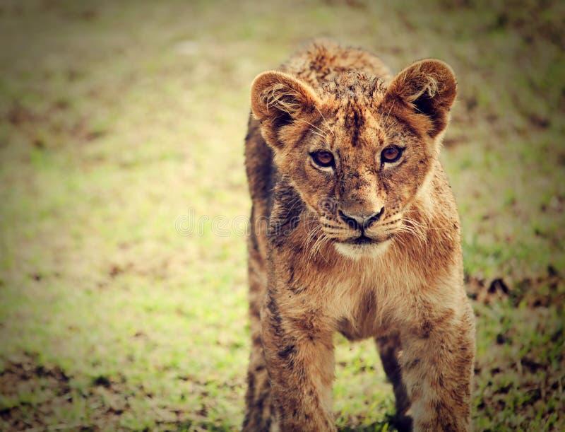 Un piccolo ritratto del cucciolo di leone. La Tanzania, Africa fotografia stock