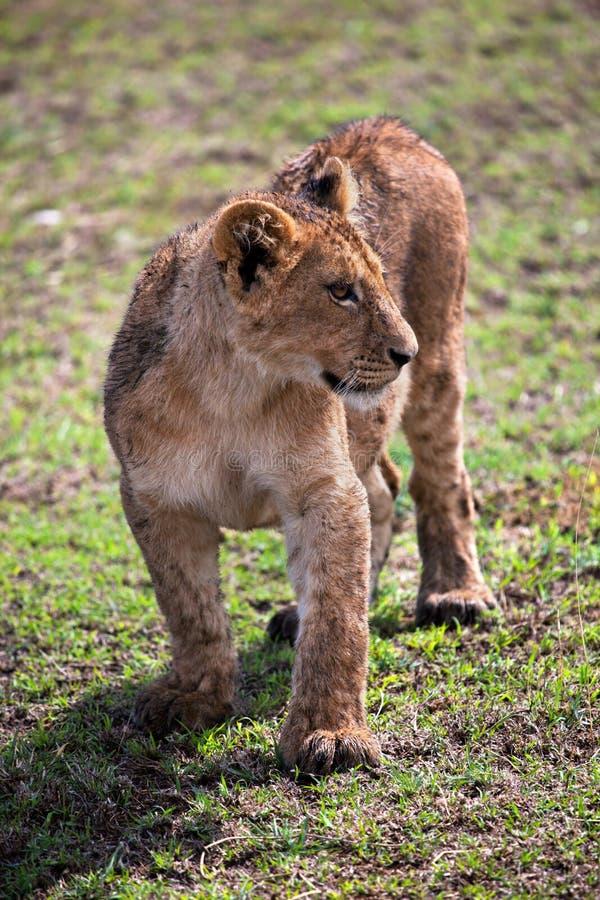 Un piccolo ritratto del cucciolo di leone. La Tanzania, Africa fotografie stock libere da diritti