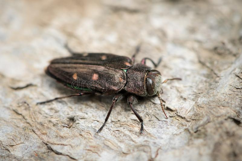 Un piccolo scarabeo metallico dell'legno-alesaggio che si siede su un albero di faggio fotografia stock libera da diritti
