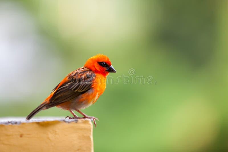 Un piccolo uccello locale rosso sulle Seychelles fotografia stock