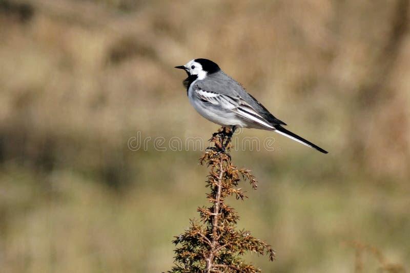 Un piccolo uccello molto motivato fotografia stock libera da diritti
