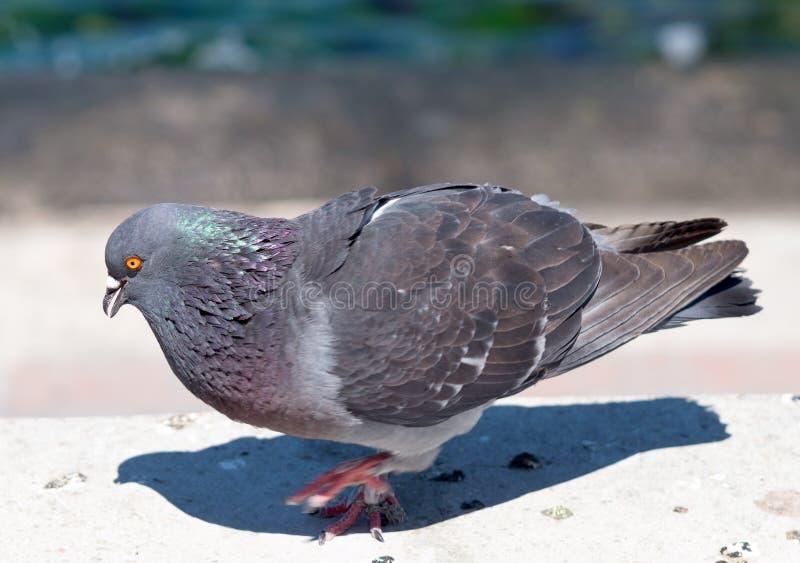 Un pigeon photographie stock libre de droits