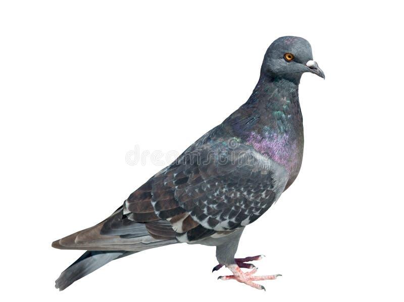Un pigeon image stock
