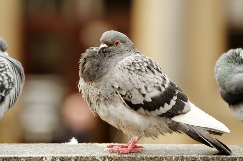 Un pigeon avec soufflé un coffre photo stock