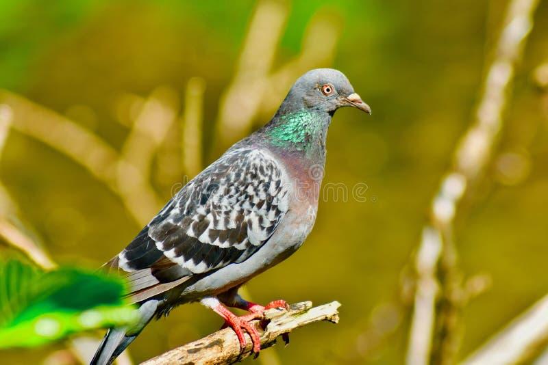 Un pigeon commun de colombe de roche photo libre de droits