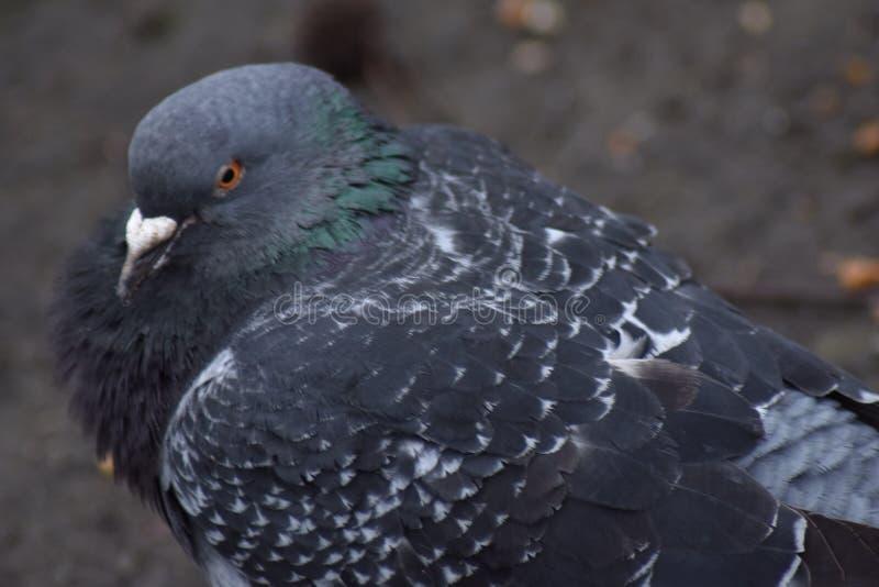 Un pigeon de colombe de roche photo libre de droits