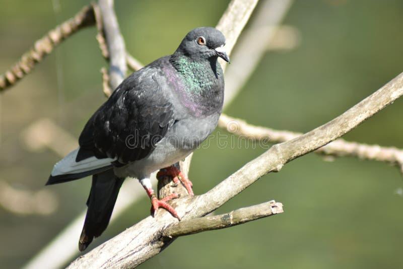 Un pigeon de colombe de roche dans un arbre photo libre de droits