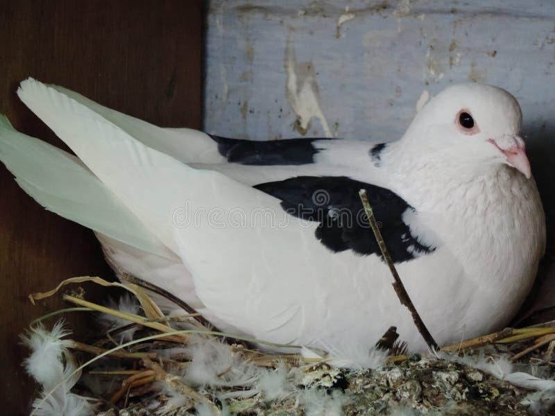 Un pigeon de mère photo libre de droits