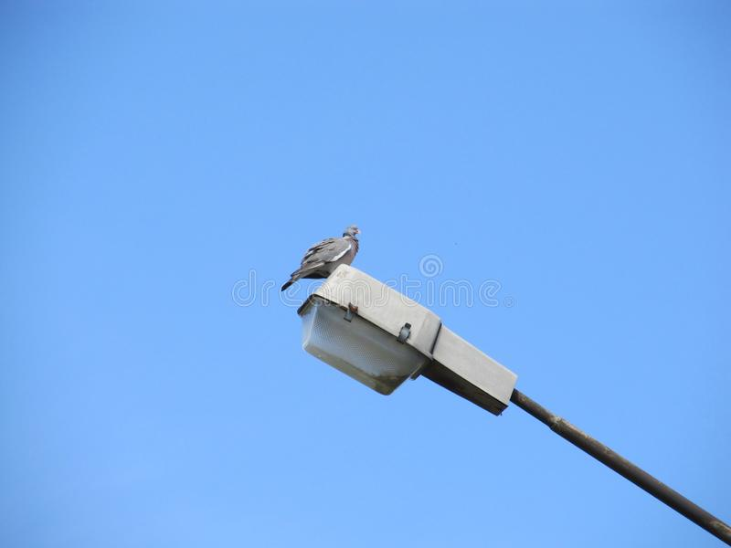 Un pigeon gris solitaire se repose haut sur un lampadaire contre un ciel sans nuages bleu photographie stock