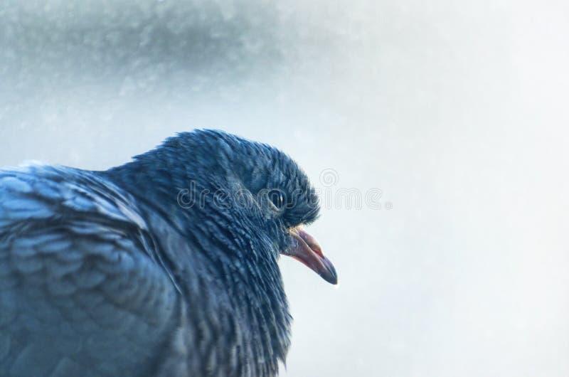 Un pigeon se cachant de la pluie sur le rebord images libres de droits